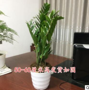 金钱树摇钱树室内客厅大绿植盆栽盆景花卉吸甲醛观叶招财植物