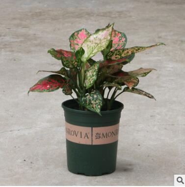 如意皇后盆栽室内吉利红万年青植物客厅吉祥花卉净化空气四季常青