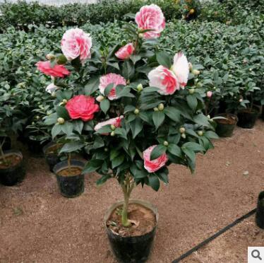 山茶花批发 五色香妃盆栽 室内庭院种植云南茶花树苗 带花苞发
