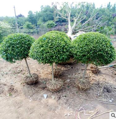 小叶女贞造型 小叶女贞球 常青植物 绿化苗木 庭院绿化 四季