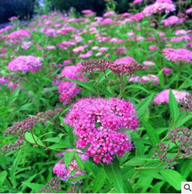 基地直销 绣线菊花木观叶观花彩色绿化工程公园 庭院花卉植物耐寒