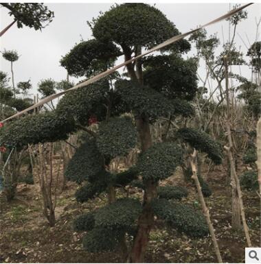 小叶女贞造型盆景 侧柏绿化苗木 庭院栽植四季常青小叶女贞造型树包
