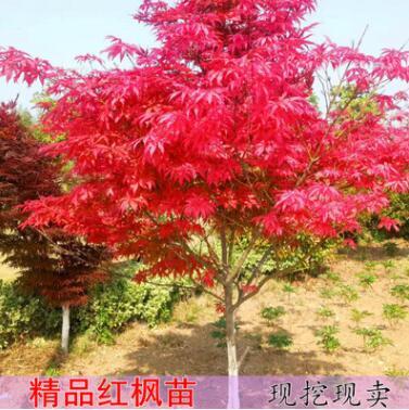 基地批发红枫树红舞姬嫁接秋火焰美国日本四季红行道庭院公园绿化