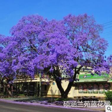 蓝花楹树苗珍贵名树庭院园林绿化苗木南方种植观赏凤凰花风景树