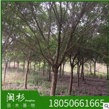 红皮榕 福建规格齐全基地批发厂家直销行道园林景观绿化工程