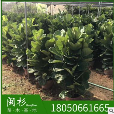 琴叶榕 福建规格齐全基地批发厂家直销行道园林景观绿化工程
