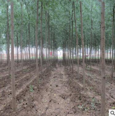 基地批发黄金柳园林苗木金丝垂柳常绿乔木垂柳小苗柳树枝条