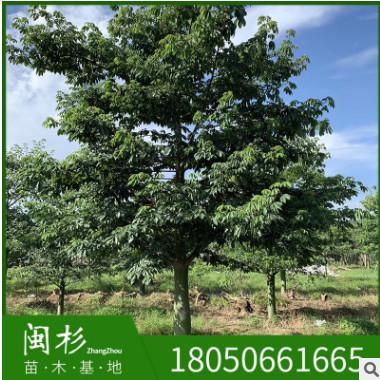 美人树 美丽异木棉 福建规格齐全基 直销行道园林景观绿化工程