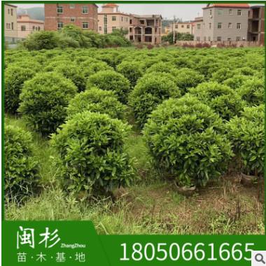 非洲茉莉球福建规格齐全基地批发。厂家直销行道园林景观绿化工程