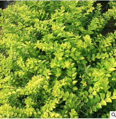 绿化苗金叶女贞树苗庭院绿化小区园林绿化树苗 四季常青庭院植物