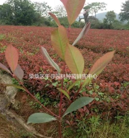 红叶石楠小苗 红叶石楠小苗价格 根系发达红叶石楠培育基地