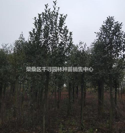 单性木兰树苗基地 九江单性木兰树苗批发单性木兰价格