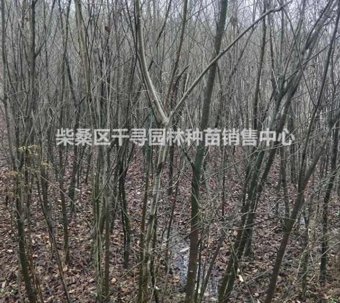 江西榉树苗木基地
