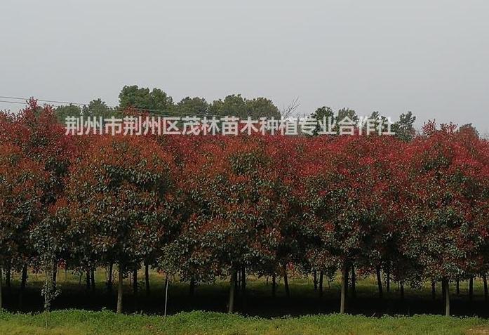 大小规格红叶石楠基地