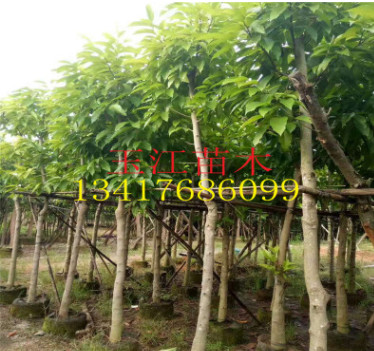 广东揭阳基地出售优质紫白黄玉兰树 玉兰苗绿化树苗批发 盆栽花卉