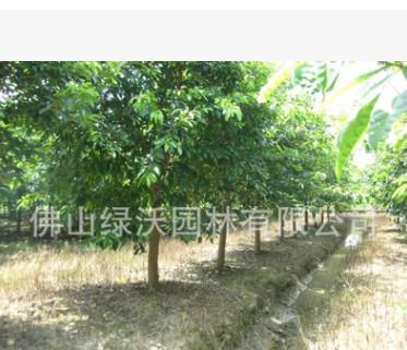批发18公分优质大叶榕、黄葛树、风景树、景观树、行道树