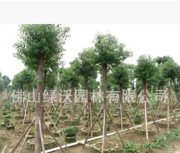 大量供应15公分优质移栽袋苗香樟树、移栽香樟树