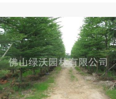 供应13公分精品细叶榄仁、小叶榄仁、园林绿化苗木、庭院风景树