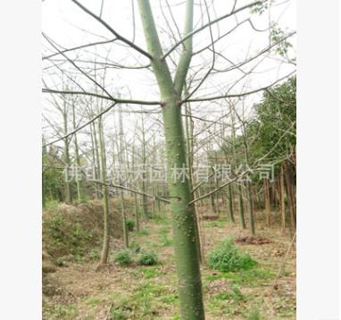 大量供应优质落叶观花大乔木、美丽异木棉,青皮木棉