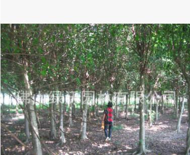 供应小叶榕,细叶榕,行道树,大量米径14-15-16-17-18-19-20公分
