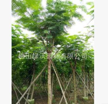 大量供应10-12公分移栽凤凰木,假植凤凰木,袋苗凤凰木