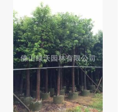 大批量销售12公分优质香樟树,精品香樟假植苗,袋装苗,绿化苗木