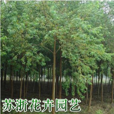 道路绿化木红叶乌桕树苗批发乌桕小树根系发达园林植物红叶树
