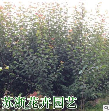 美人梅 绿化树 花灌木 基地直销批发价格 观花观叶植于庭院路旁