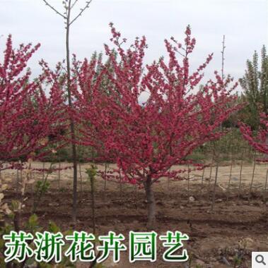 紫叶碧桃树苗批发园林绿化苗木色块绿篱行道点缀红叶碧桃苗