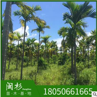 假槟榔福建苗木基地批发三药厂家直销行道庭院园林景观绿化工程