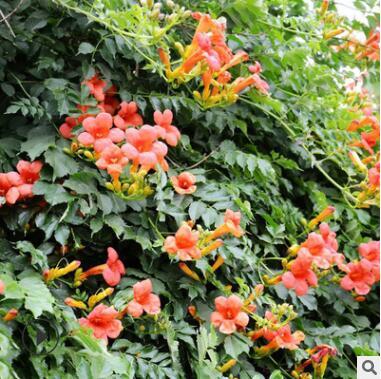 凌霄花苗 庭院阳台攀援花卉植物围墙装饰美国凌霄花树 绿化苗木