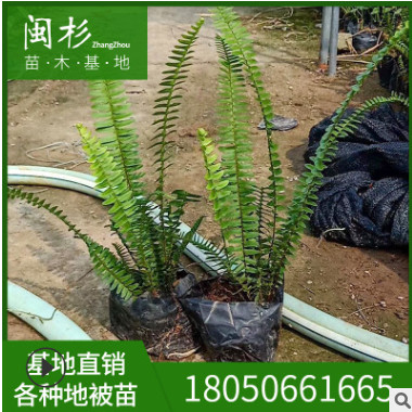 肾蕨 排骨草 蜈蚣草 福建多种规格齐全种植基地直销 蕨类植物批