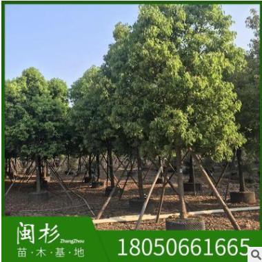 福建秋枫基地直销10-20公分 重阳木园林工程供应规格齐全大量批发