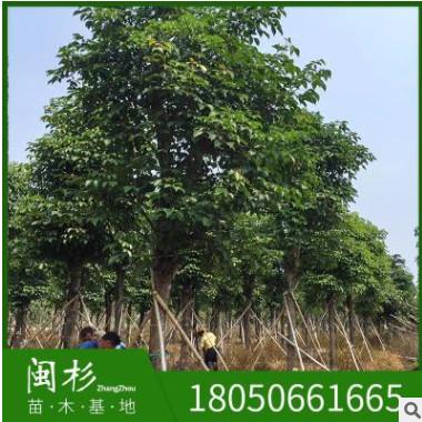 福建秋枫基地直销20-30公分 重阳木园林工程供应规格齐全大量批发