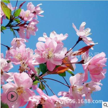 垂丝海棠树苗 垂丝海棠小苗嫁接苗庭院观花植物 海棠树苗 规格全