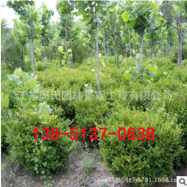 基地优质黄杨 小叶黄杨球 庭院园林绿化工程 瓜子黄杨球 规格全