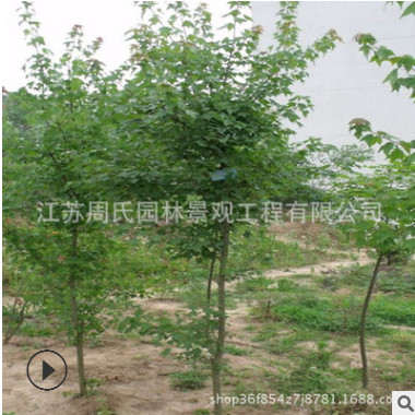 园林道路绿化工程苗 三角枫小苗 规格全 三角枫树苗 基地直销