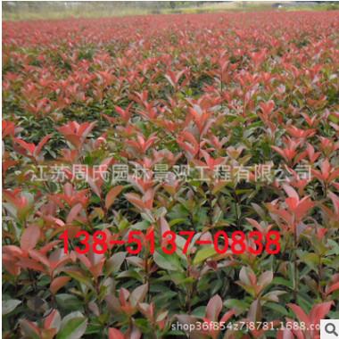 基地红叶石楠基地直销 规格全 园林地被彩叶红叶石楠 石楠球