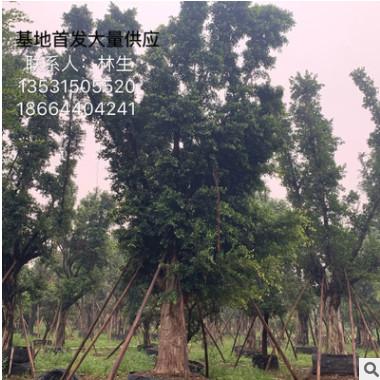 小叶榕精品基地直销 大量供应全冠小叶榕树 盆景细叶榕 榕树头桩