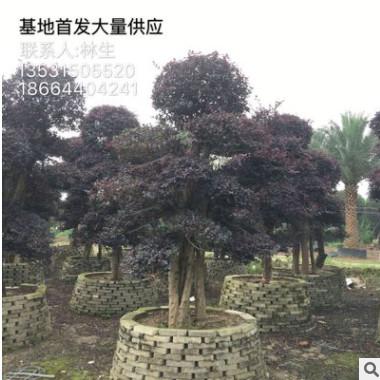 红花继木基地直销 精品造型红继木 大量供应红继木球 5斤袋 7斤袋
