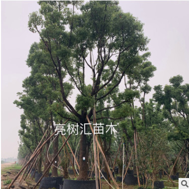 基地首发精品全冠香樟 大量供应大叶樟 小叶骨架樟树 房地产用苗