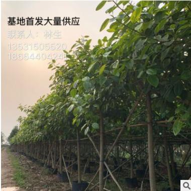 富贵榕基地直销 大量供应10公分 15分 金边高山榕 橡胶榕 花叶榕