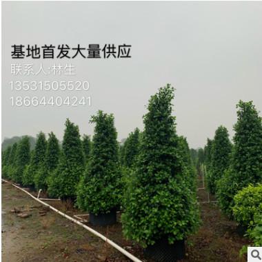 火山榕基地首发 大量供应精品房地产用苗 金钱榕大小灌木乔木地被