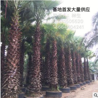 老人葵广东基地首发 华盛顿棕榈科 大量供应多种规格老人葵 蒲葵