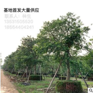 铁冬青基地首发 大量供应造型铁冬青 丛生单杆苗 万紫千红精品苗