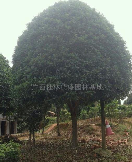 大桂花树*新报价/精品桂花树图片