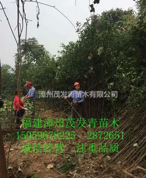福建地区专业 丹桂 超低价来电咨询