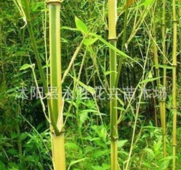 绿化苗竹子 出售竹苗 清水淡竹 青竹苗 紫竹 金镶玉竹 罗汉竹