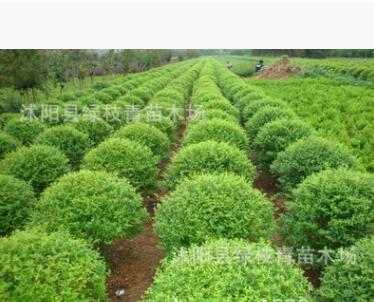 低价销售绿化小苗 优质小叶女贞 绿篱苗 小叶女贞球 造型女贞苗