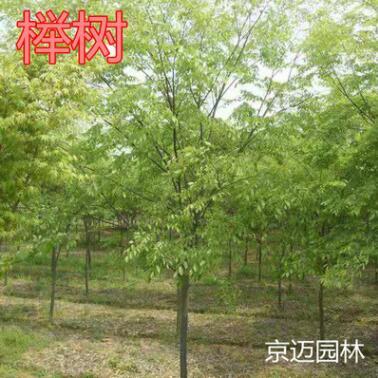 工程绿化苗木榉树 基地批发大树行道树美化榉树 树苗规格齐全